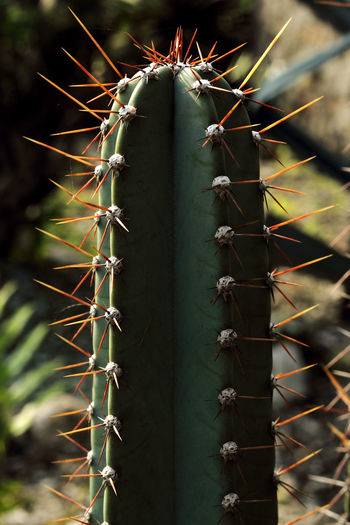 Beauty is there in every thorn I had Nature Beauty In Nature Growth Close-up Photography Photo Fotografia Eyeemphotography Stockphoto Stockphotography Fotografi Plant Cactus Photographer Outdoors Love Image Nature Thorn