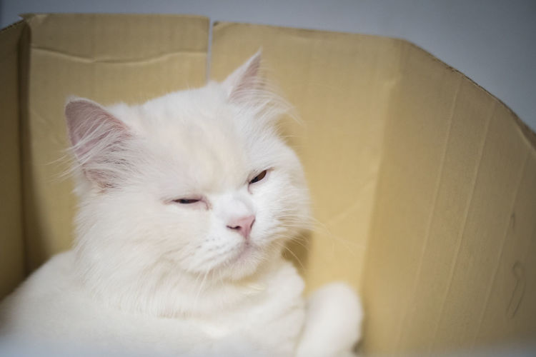 Close-up of white cat with eyes closed