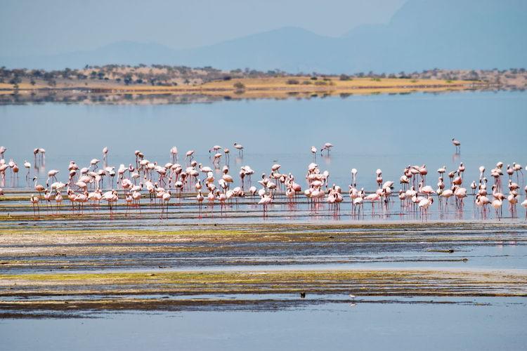 Flock of flamingos in lake, lake magadi, kenya