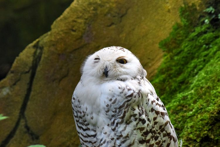 Close-Up Of Snowy Owl