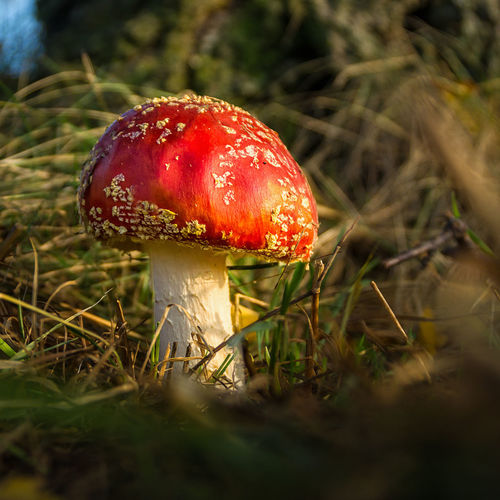 Close-up of a fly agaric mushroom Beauty In Nature Close-up Day Einmännleinstehtimwalde Fly Agaric Fly Agaric Mushroom Fragility Freshness Fungus Grass Growth Mushroom Nature No People Outdoors Red Toadstool