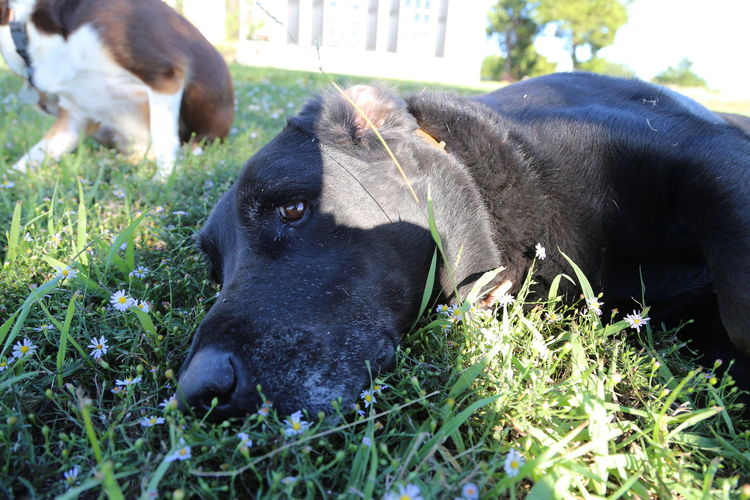 Close-up of black dog relaxing on grass
