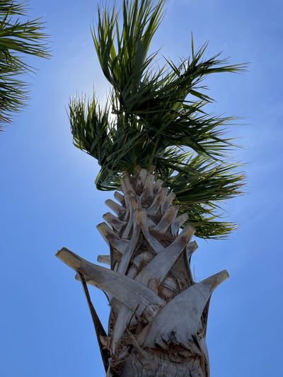 Low angle view of coconut palm tree against clear blue sky