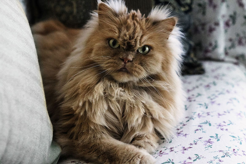 Domestic Cat Pets Domestic Animals Indoors  One Animal Portrait Looking At Camera Persian Cat  Bed No People Sitting Close-up Animal Themes Cat Lovers Catoftheday Cat Hairy Beast Sinister Seriousface Seriously Beautiful