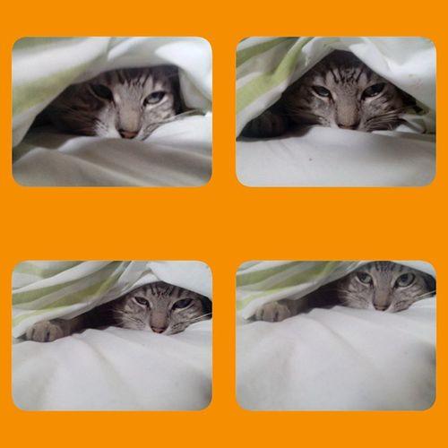 """Y entonces le dije: """"Pacheco, tengo que arreglar la cama. Levantate haragán""""... Caredormido Careodio Pet Cat"""