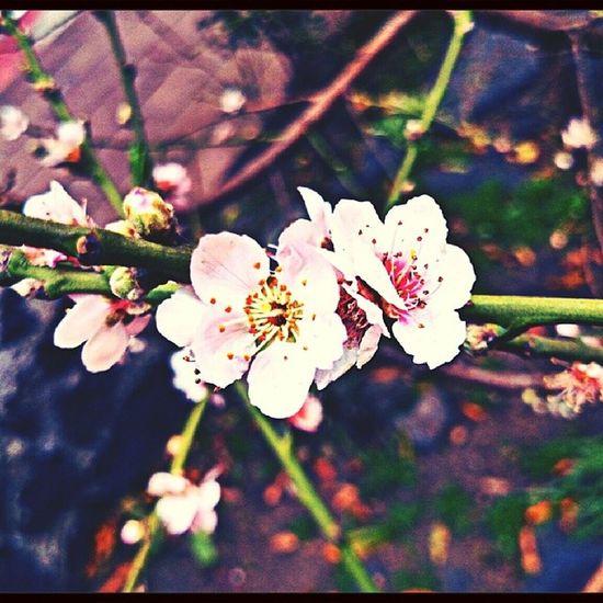 <3 me encantan... EyeEm Nature Lover Cherry Blossoms Flower Porn