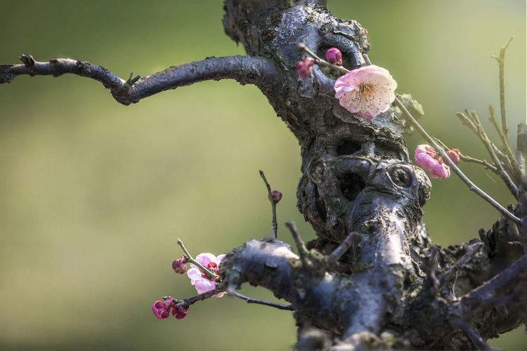 plum blossom bonsai Flower Flowering Plant Plant Beauty In Nature Growth Close-up Nature Day No People Bonsai Plum Blossom Bonsai Plum Blossom Views Plum Blossom Branches Macro Macro Beauty