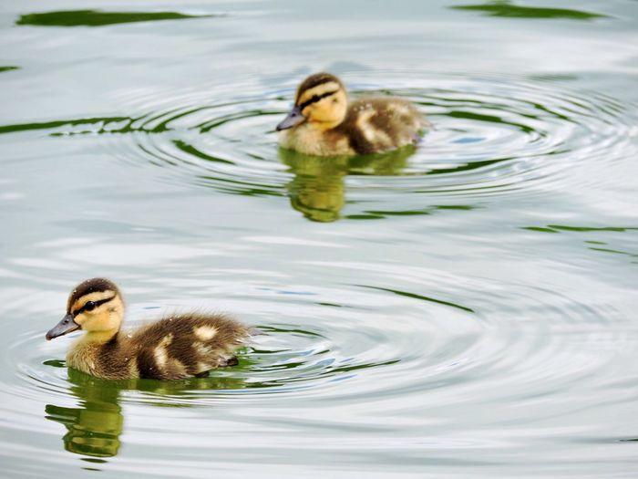 Ducklings swimming in lake