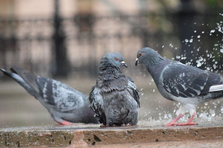 Close-up of three pigeons
