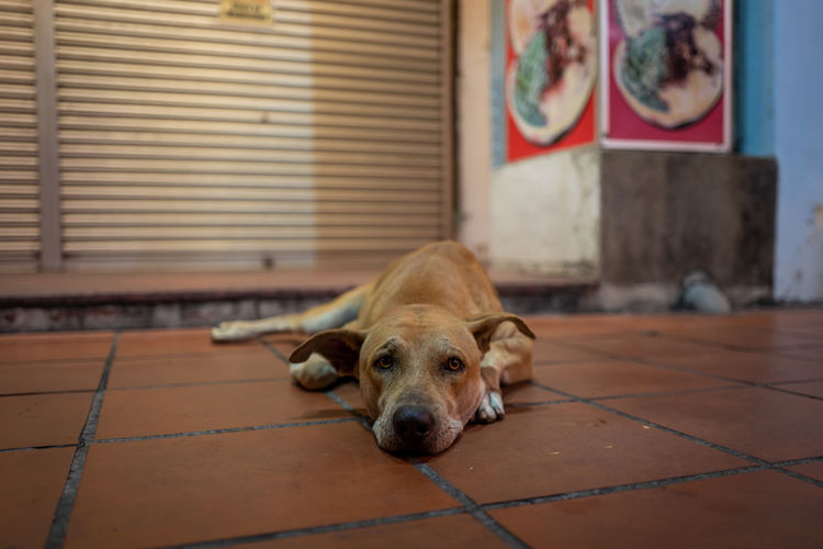 Malacca Pets Canine Dog Domestic One Animal Domestic Animals Mammal Animal Themes Animal Relaxation Vertebrate Portrait Focus On Foreground Lying Down Resting No People Flooring Indoors  Home Interior Looking At Camera Tiled Floor