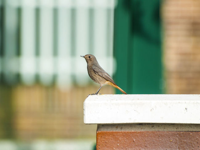 Adapted To The City Animal Themes Animal Wildlife Animals In The Wild Bird Black Redstart Close Up Close-up Day Environment Female Female Bird Focus On Foreground Nature No People One Animal Outdoors Perching Perching Bird Phoenicurus Phoenicurus Ochruros Redstart Retaining Wall Urban Birds Wildlife
