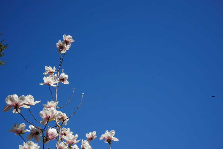 Low angle view of white flowers against clear blue sky