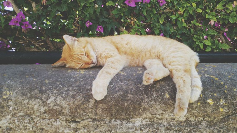 Sleepy cat Domestic CatEyeEm Selects Animal Themes One Animal Mammal Feline Pets Relaxation Domestic Animals Lying Down No People Day Outdoors Ginger Cat Nature First Eyeem Photo
