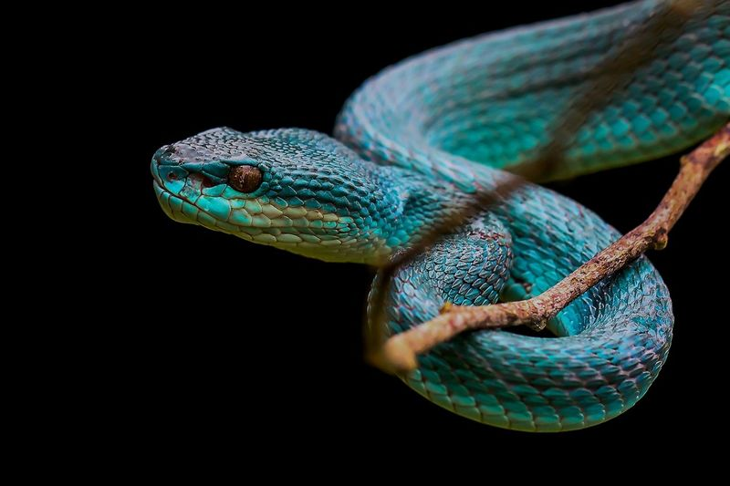 Close-up of a viper snake