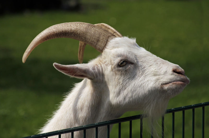 Goat at petting zoo with somewhat skeptical face