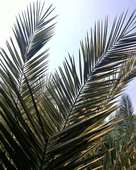 Palm Tree Nature Growth No People Outdoors Tree Close-up Day Sky Very Sunny Sunlight Green Leaves🌿 EyeEm Nature Lover