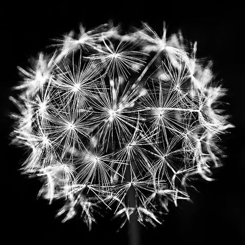 Dandelion Monochrom Follow Instagood instacool Flowers,Plants & Garden Relaxing Light Cityscape Icon Blackandwhite Beauty In Nature Sexy♡ Sexypose