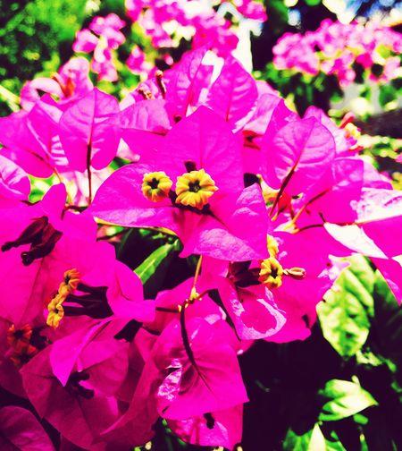 Begonville Begonvilçiçekleri Flowers Island Life Prinkipo IPhoneography Mobile Photography Mobilephotography Macro Photography Macro Beauty Macro Nature Macro_flower Showcase July