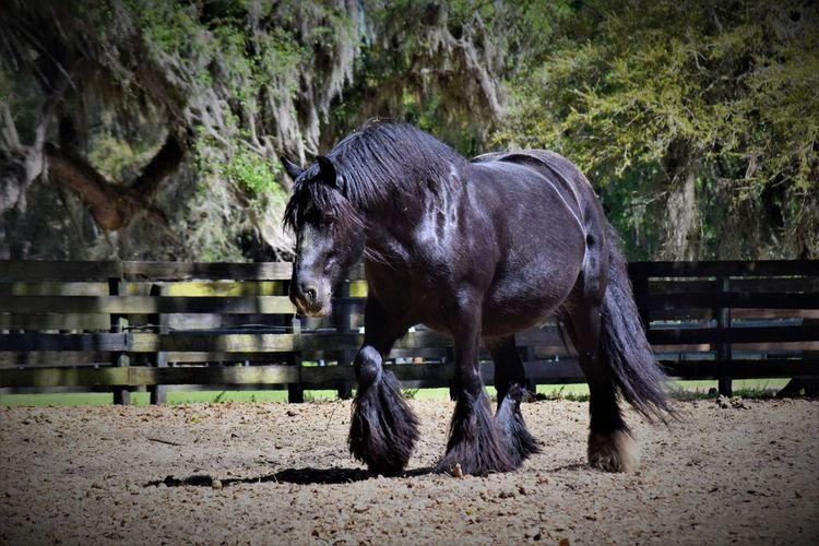 Proud and strong - this Gypsy Gold Vanner belonging to Dennis Thompson is a gorgeous example of this unique breed Black Horse Gypsy Gold Gypsy Gold Vanner Horses Mare Animal Themes Horse Horse Photography  Horsesofinstagram Livestock One Animal
