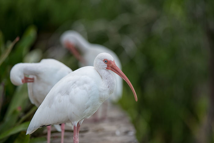 America White Ibis Nikon D750 Animal Themes Animal Wildlife Animals In The Wild Beak Beauty In Nature Bird Close-up Day Focus On Foreground Ibis Nature No People One Animal Outdoors Perching Photographyisthemuse White Bird