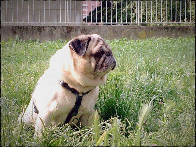 Ulisse, this morning Carlino Cane Dog Carlino Pug Mummy Love  Pug Love Pug Life  Carlino Lovepugs Turin Italy Torino, Italy Piemonte