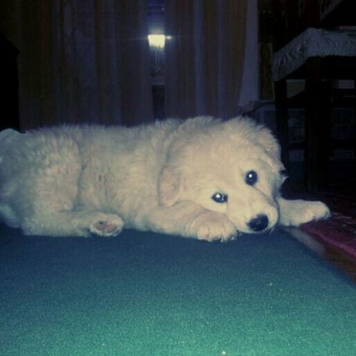 Cute Pets Dog Maremmasheepdog Maremmano