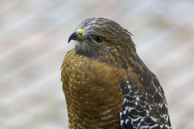 Close-up of red shoulder hawk