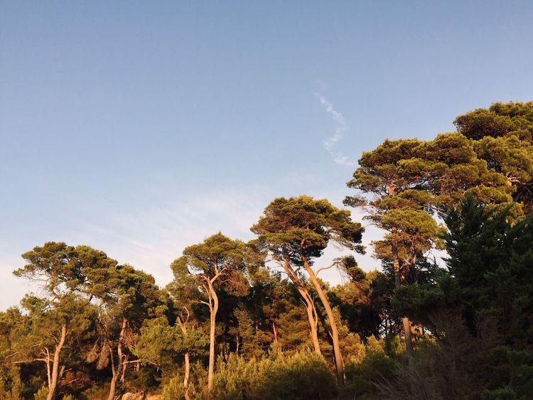 Aleppo pine 4, Veli Losinj, Croatia, 2016. Veli Lošinj Croatia Nature Landscape Tree Pine Tree Aleppo Pine Seaside Sunset Beauty In Nature Growth Wilderness Tranquility Low Angle View Scenics