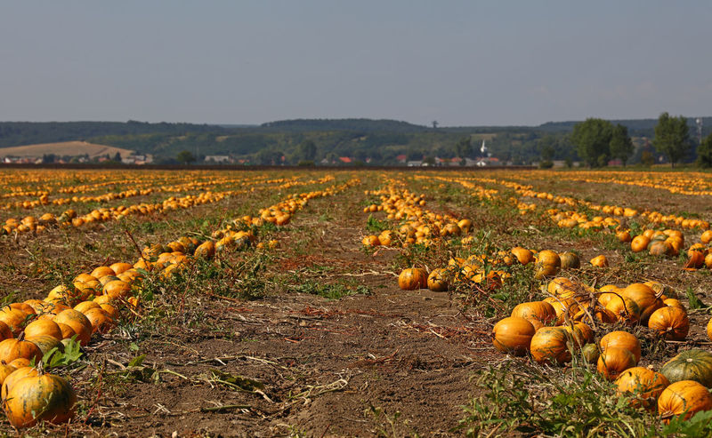The field of ripe yellow orange pumpkins ready to harvest in Autumn season Agriculture Autumn Good Weather Perspective Crop  Cultivated Land Day Farming Field Food Food And Drink Freshness Harvest Landscape Nature No People Orange Color Outdoors Pumpkin Ripe Rural Scene Season  Sunny Day Sunshine Yellow