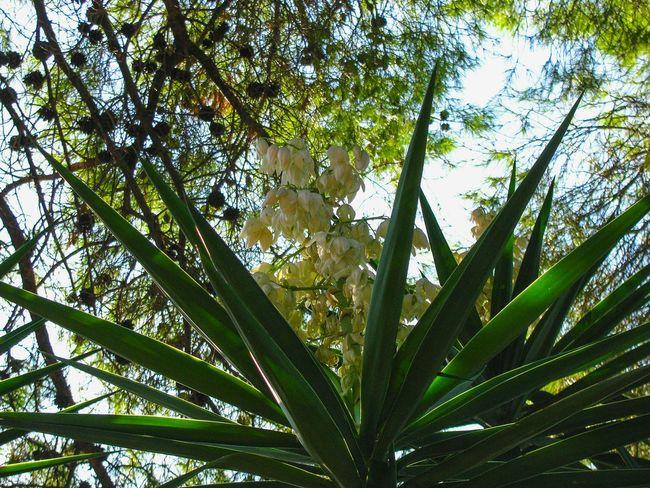 dragon tree blossom under pine trees Dragon Dracaena Garden Garden Photography Dragon Tree Blossom White Blossom Pine Trees Tree Branch Leaf Flower Sky Green Color Blooming