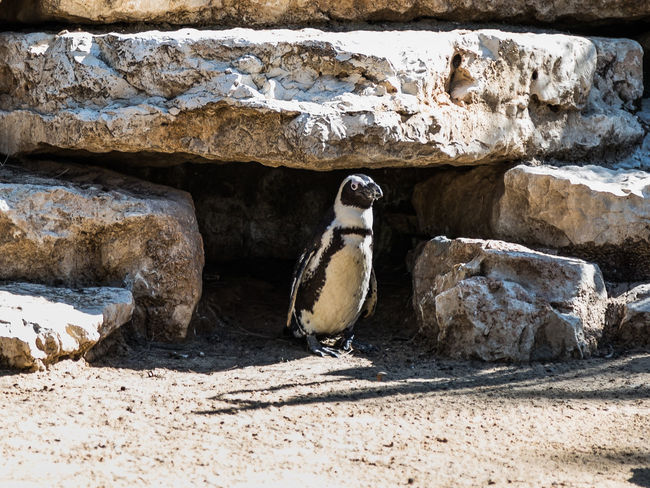 One African penguin stands and rest on a sunny day Nature Ape Business Eating Grass National Park Ramat Gan - Tel Aviv Travel View Zoo Adaptation Animal Themes Attraction Biology Day Environment Israel Mammal Nature Population Predator Reserve Safari Tourism Wildlife