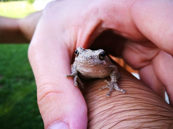 A tree frog was swimming in the pool. Tree Frog Tree Frogs Tree Frog On Finger Friendly Frog Human Hand Reptile Holding Close-up