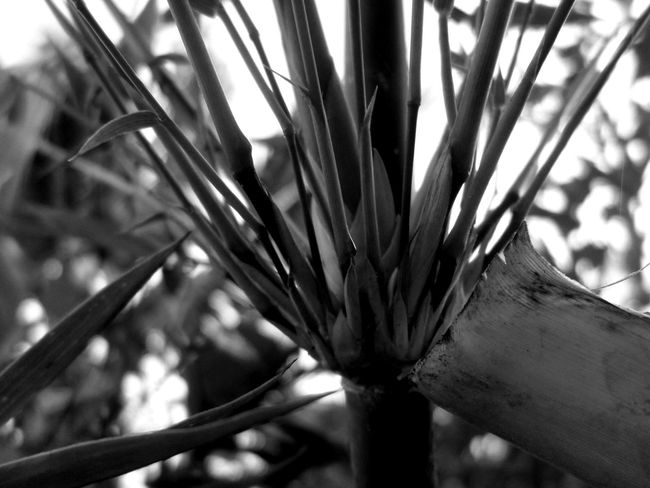 Can u ever find the secret behind these leaves? Secret Spaces Hello World Open Edit Close Up Drastic Edit EyeEm New Here Uniqueness Welcome To Black Black And White Monochrome EyeEm Nature Lover Close Up Photography Gift By Nature Nature Bamboo Leaves Resist The Secret Spaces Art Is Everywhere