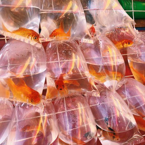 Fiesta Goldfish