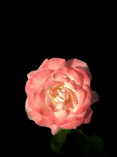 Goodnight Nature_collection Nature Petal Inflorescence Rosé Flowering Plant Flower Head Vulnerability  Fragility Close-up
