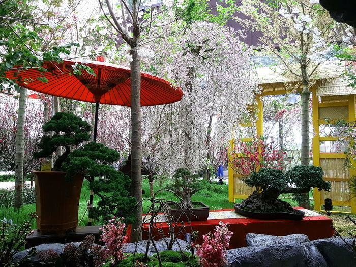 Red parasol Day Gardens Gardens By The Bay Japanese  Japanese Garden Japanese Parasol Multi Colored Nature No People Parasol Sakura Sakura Blossom Sakura2016 Spring Sunlight