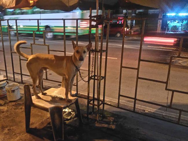 Dogs Streetdogs Askal Streetdog Browndog @ Binondo, Manila