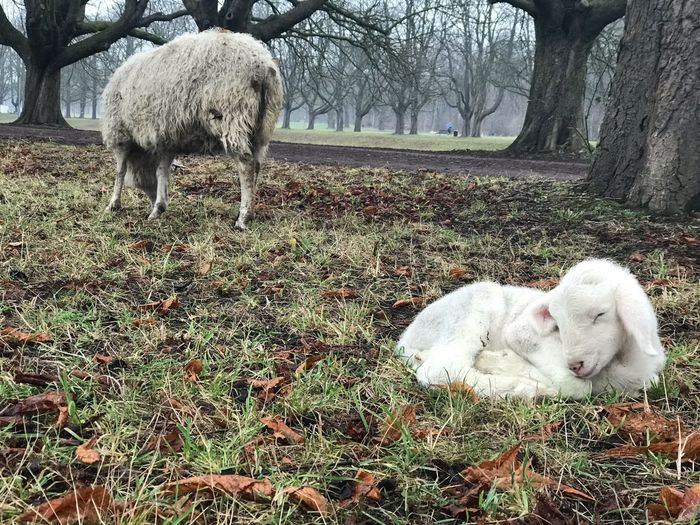 Newborn lamb in winter Winter Schafe Lamm Lamb Sheep Mammal Animal Animal Themes Vertebrate Domestic Animals Pets Domestic Group Of Animals No People Livestock Animal Wildlife Outdoors Herbivorous Nature