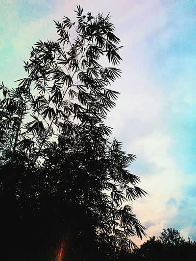 sky and bamboo.. EyeEmNewHere EyeEm Nature Lover EyeemPhilippines Lights In The Dark Bamboo Sky And Clouds Low Angle View Sky No People Tree Silhouette Day Outdoors
