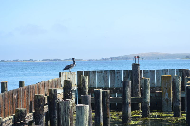 Pelican Bird Perching On Fence By Sea Against Clear Sky