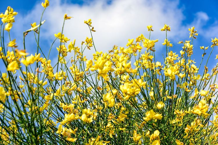 Yellow flowers Summer Yellow Plant Flower Flowering Plant Growth Beauty In Nature Freshness Fragility Vulnerability  Sky No People Nature Field Day Land Close-up Low Angle View Cloud - Sky Tranquility Blue