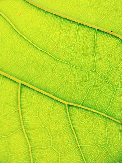 Leaf Backgrounds Green Color Nature Full Frame Close-up No People