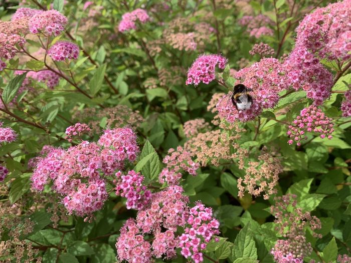 Close-up of bumblebee on pink flowering plants