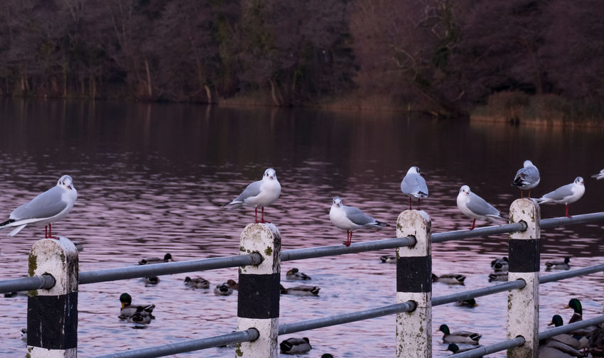 Seagulls perching on wooden post by lake