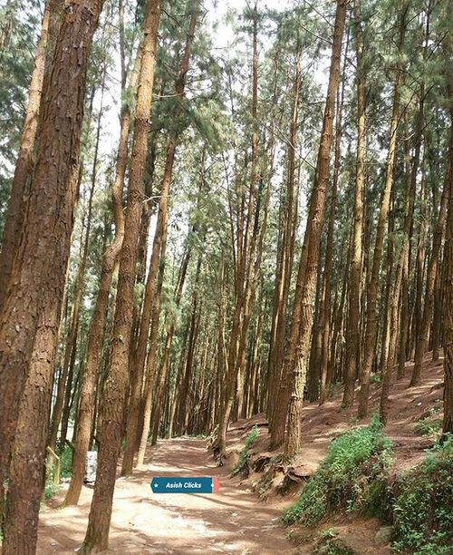 Pine Forest (Valley) A walk through the pine valley 👍☺❤ Peace Serene Pine Forest Pineforest Vagamon Travel Asishclicks Mobilephotography Vacation Pinevalley Adventure Trekking Kottayam Nature Awesome PicPerfect Picoftheday Instapic Pic