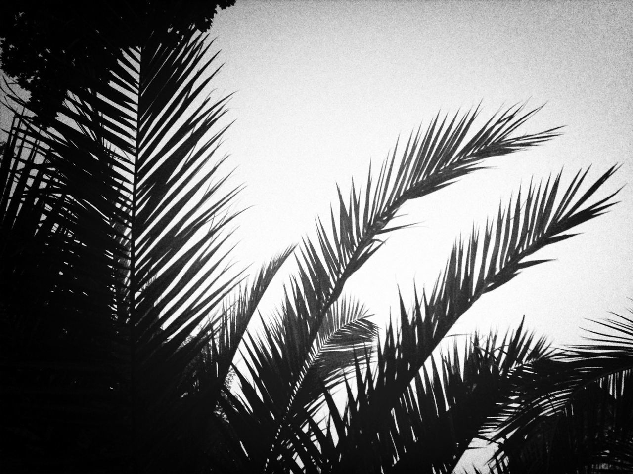 Silhouette Coconut Palm Tree Against Clear Sky