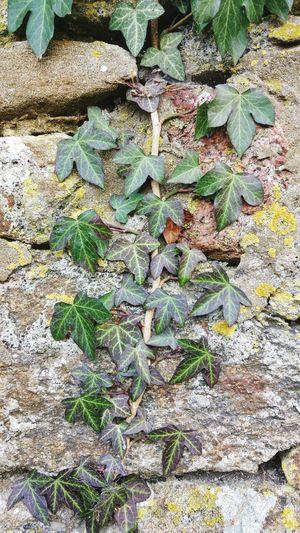 Textures And Surfaces Nature Textures backgrounds textures and surfaces backgrounds nature close-up naturephotography efeu Efeu efeu Efeu An Mauer