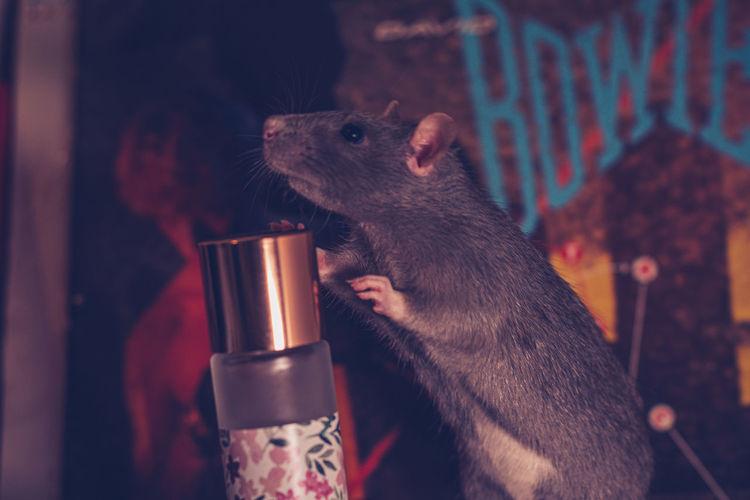 Portrait of pet rat in cage