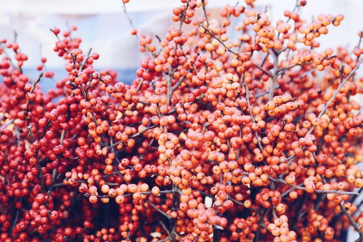 Berries Collection Berries On A Branch Red Flower Red Growth In Nature Flowers, Nature And Beauty Flower Collection Flowershop Branch Branches Plants And Flowers Plants Seasons WinterSeason Wintertime Backgrounds Fruit Food Growth Day Outdoors Freshness Tree Rowanberry Nature Red Close-up No People Beauty In Nature Sky