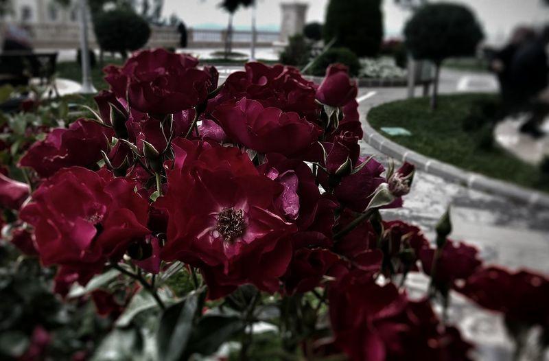 Red Rose🌹 Abdülhamidhancamii First Eyeem Photo
